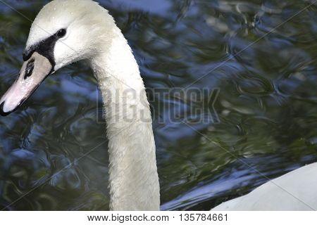 white swan head with a graceful neck and splashes of water close-up on a background of water