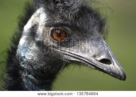 head emu close up curiously looking at the world
