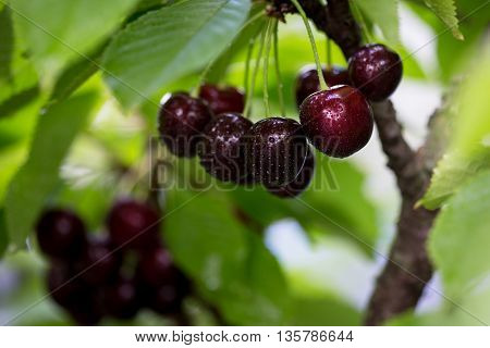 Berries cherries on a tree branch in the garden. fresh juicy ripe cherries
