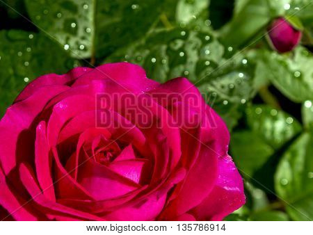Close up of a beautiful red rose