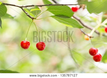 Berries of ripe cherries on the branch. Cherry tree grows in the home garden.