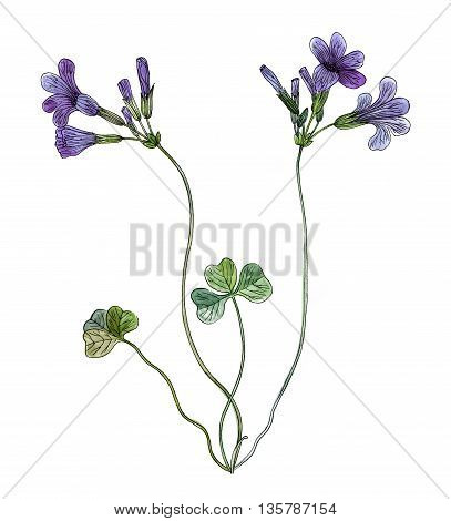 Oxalis elegans flower watercolor and pen technique hand draw