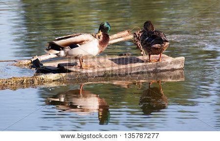 A flock of wild ducks enjoying the Danube