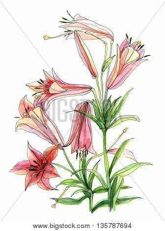 Hand draw watercolor flower of lily on white paper