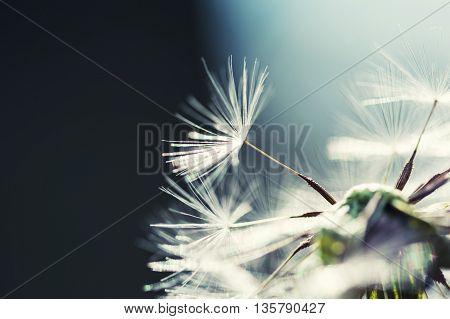 Macro Image Of Dandelion, Small Depth Of Field