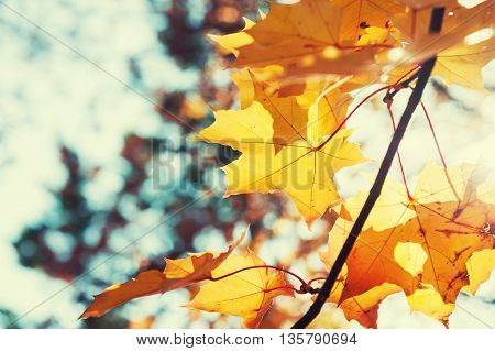 Yellow Maple Leaves In Autumn Forest At Sunny Day