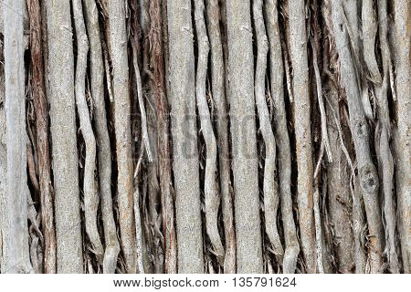 roots or trunk of the banyan tree in the garden for nature background.