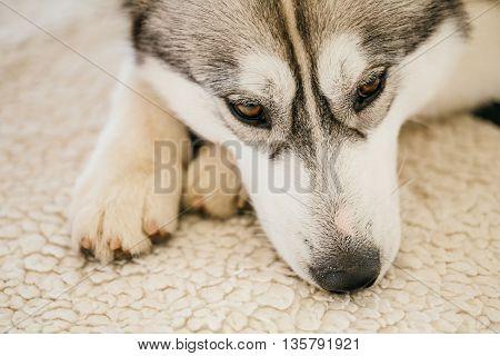 Gray Adult Siberian Husky Dog Sibirsky Husky Sleeping In His Bed