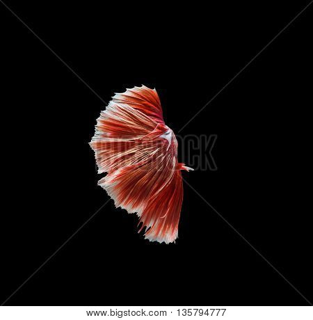 Capture the moving moment of red siamese fighting fish betta isolated on black background.