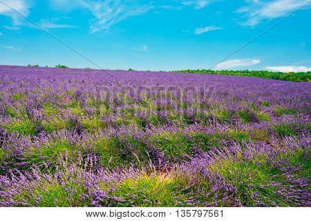 Blooming Bright Purple Lavender Flowers Field in Provence, France. Summer Agricultural landscape under sunny blue sky. Scenic view