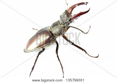 Stag beetle isolated on   white background, Stag beetle isolated on  white background.Horn stag beetle r closeup on a white background
