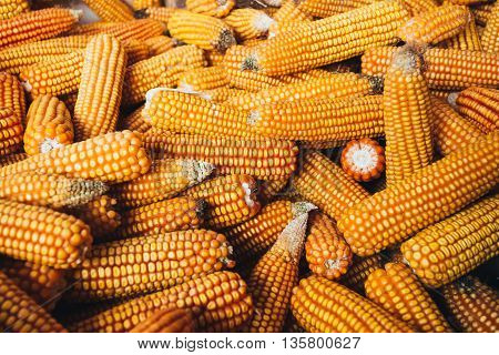 Fresh Yellow Corn Background. Harvest Agricultural Harvest Concept