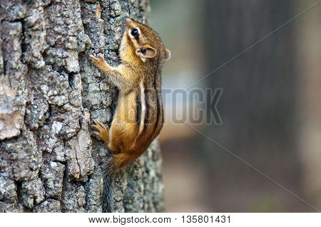 A baby chipmunk combing up a tree