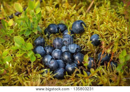 Delicious ripe blueberries lying on a yellow-green soft moss in a pine forest on a Sunny blueberry meadow