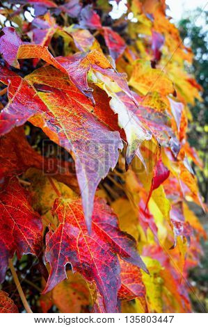 Bright leaves of different colors in the fall