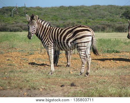 Zebra, Koeburg Nature Reserve, Cape Town South Africa