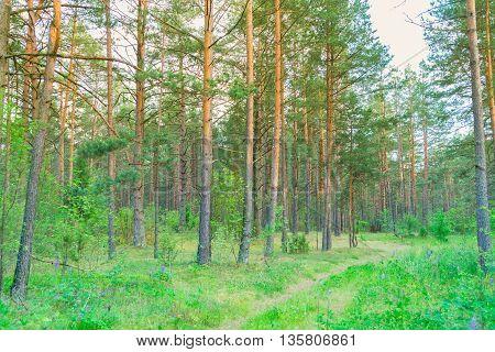Summer pine green forest in sunset sunlight