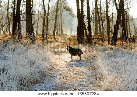 Single dog waiting ahead in path covered by frost with forest of bare trees in background