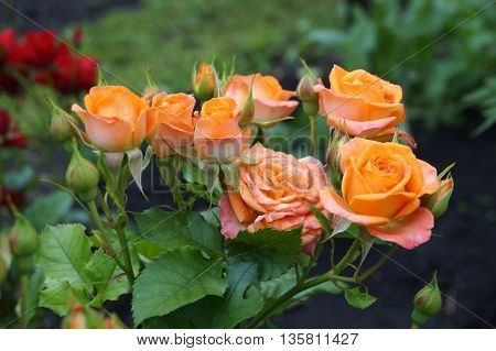 Orange Rose flowers in the summer garden