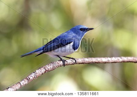 Ultramarine Flycatcher Ficedula superciliaris Male Birds of Thailand