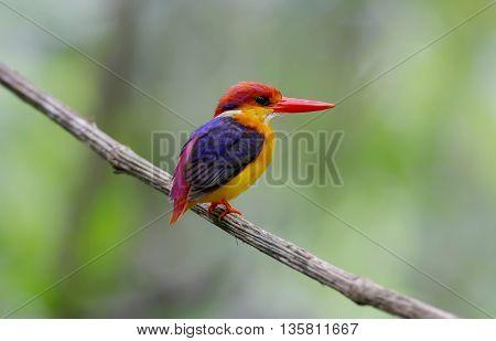 Oriental Dwarf Kingfisher Black-backed Kingfisher Birds of Thailand