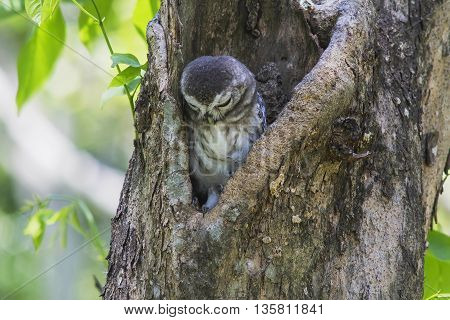 Spotted Owlet (Athene Brama) in tree hollow