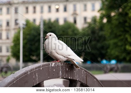 The white pigeon sits on the town square.