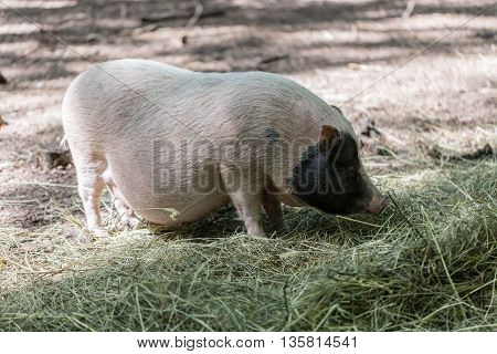 Vietnamese pig are grazed on a farm outdoors