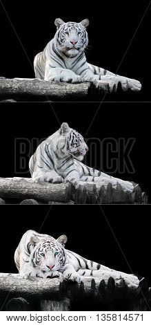 White the Bengal tiger on a black background