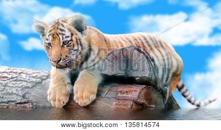 small tiger on a log swims against the sky