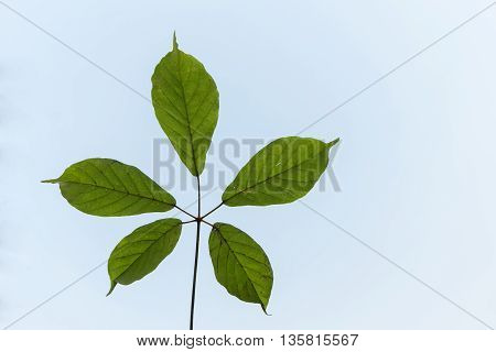 Wilt leaf on clear blue sky with copy space