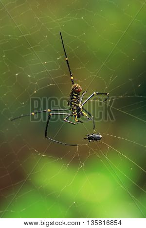 Big spider(Nephila Pilipes,Maculata) attacks victim on a cobweb in Chiang Mai,Thailand