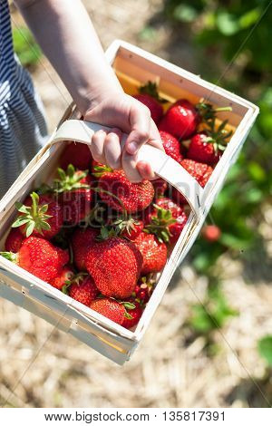 Basket full of strawberries held by a child's hand