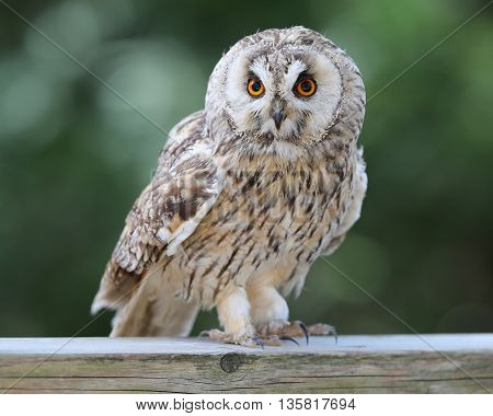Portrait of an Eagle Owl perched on a fence