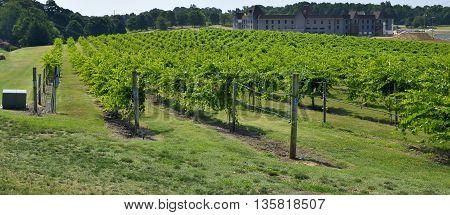 Vineyard landscape background at North Georgia, USA
