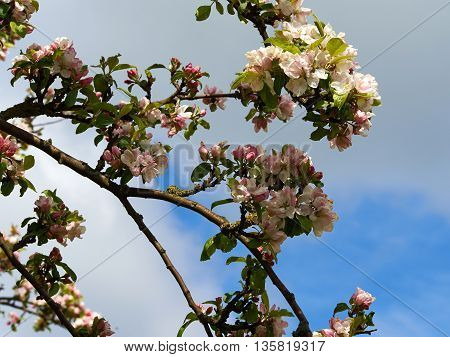 Blooming apple tree branches great home gardening background image