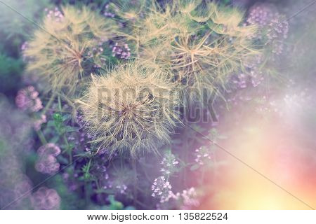 Dandelion head with seeds in meadow with thyme flower