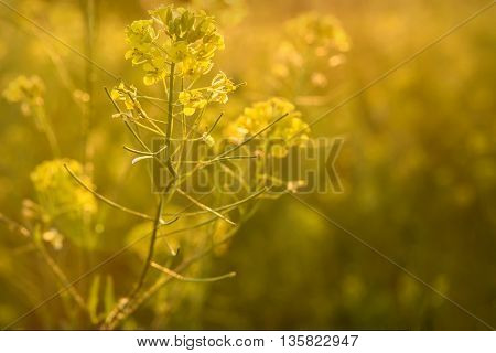 Beautiful bright floral natural background with yellow wild flowers of rape in the sunlight at sunset