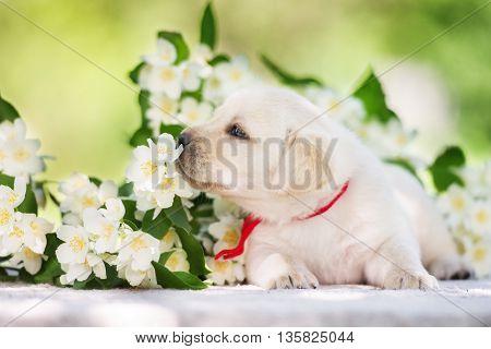 adorable labrador retriever puppy posing outdoors in summer