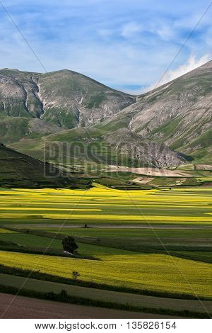 Countless yellow flowers in the plain of Castelluccio in the National Park of Monti Sibillini