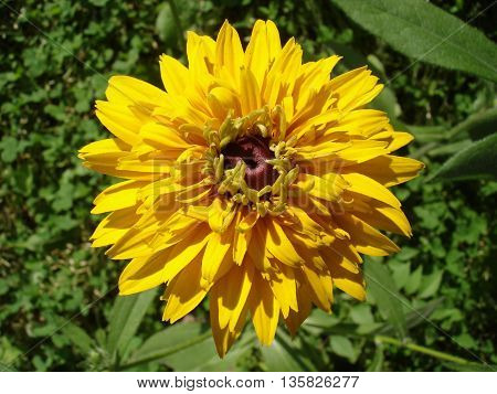 One cutleaf coneflower (rudbeckia) yellow flower .