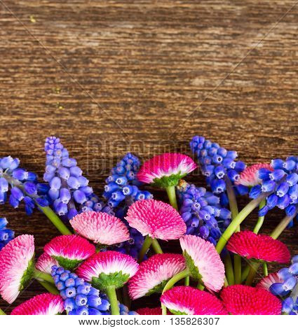 Blue Muscari and Pink Daisy Flowers border on wooden table with copy space