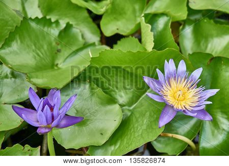 Purple lotus flowers are blooming and completely bloomed