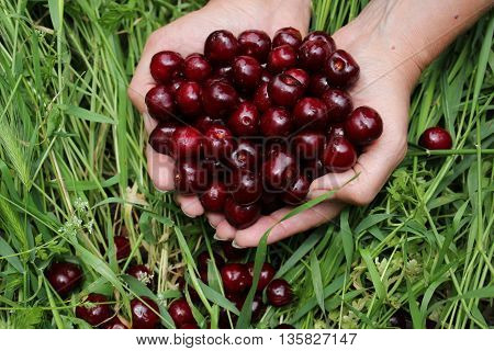 Berries are large cherries in women's hands on the background of grass.