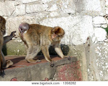 Monkey Poking Bum
