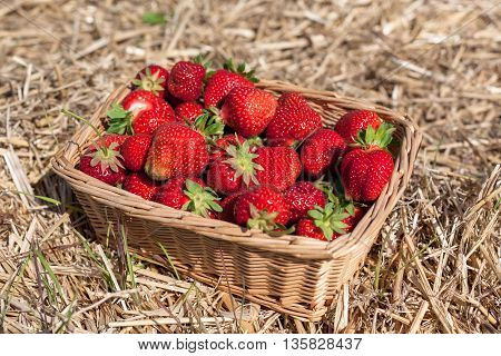 A basket of freshly picked strawberries standing on straw