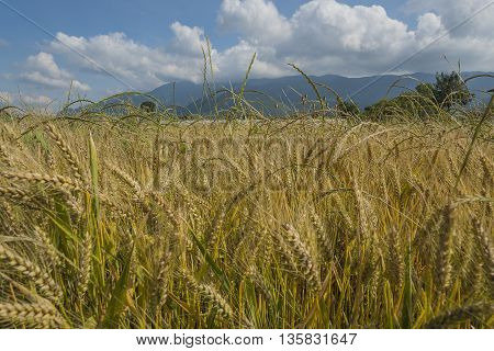 Fiedl Of The Ripe Wheat