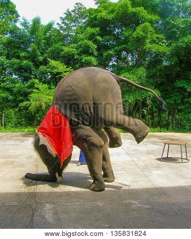 The young elephant doing tricks in Thailand