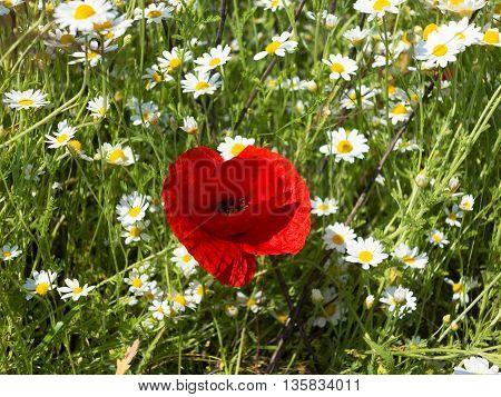 Wildflowers Poppies And Daisies, Spring Rhoeas
