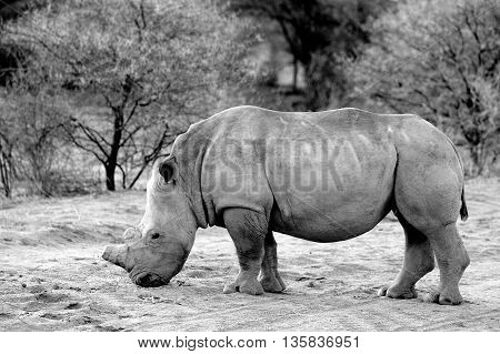 black and white side profile of a white rhinoceros in the bush
